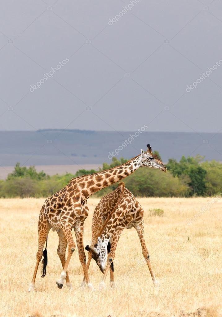 Two male of giraffe fighting