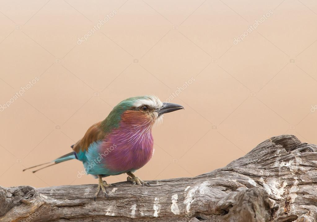 Lilac breasted roller on the wood