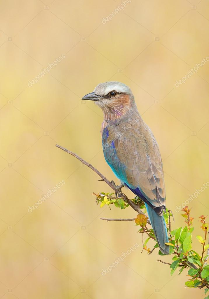 Lilac breasted roller on the branch
