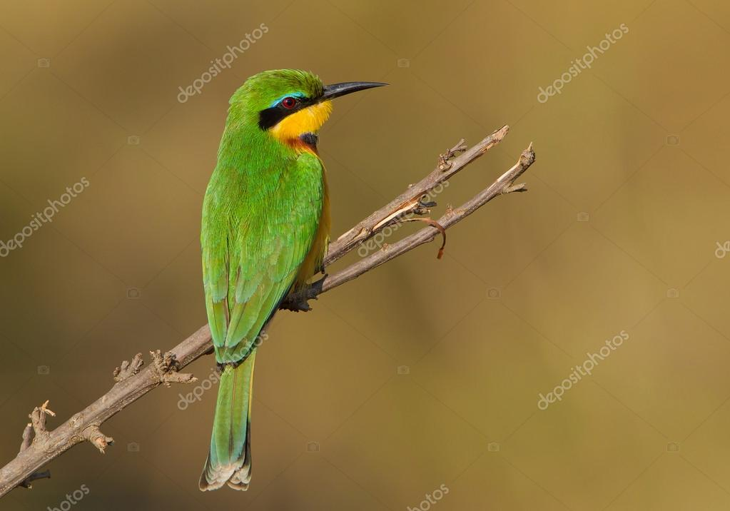 Little bee eater perching