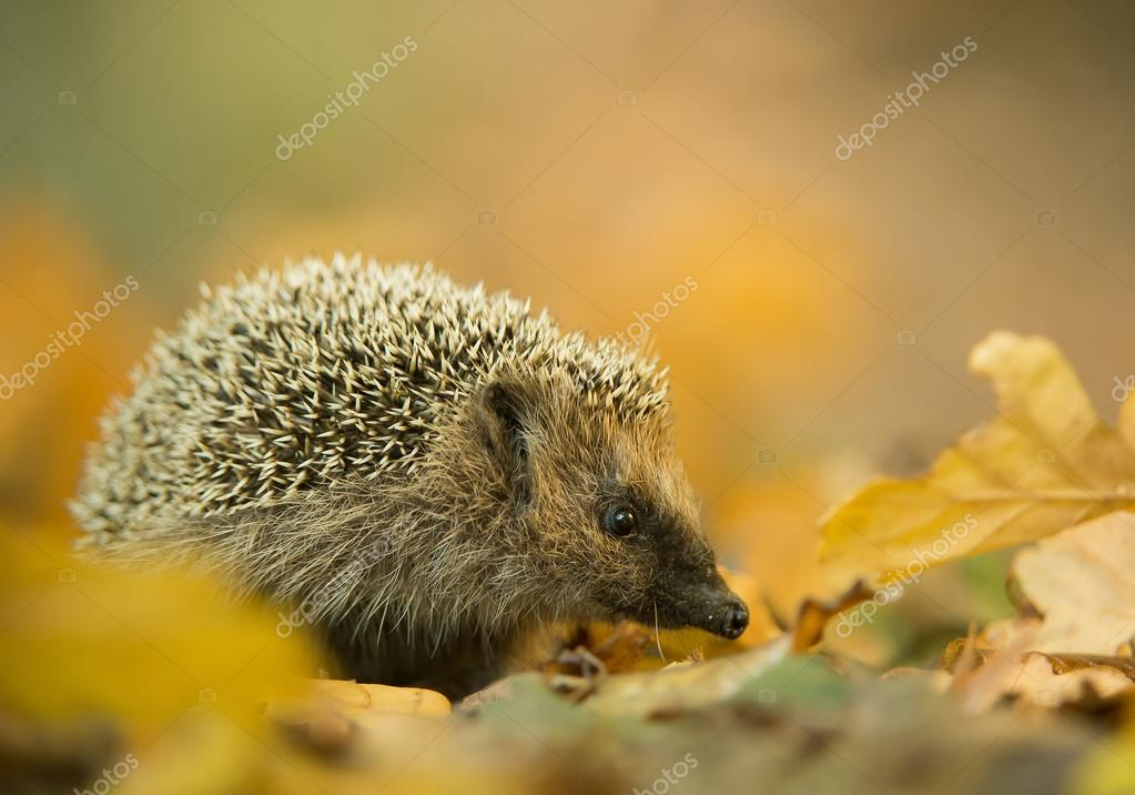 European hedgehog in autumn leaves