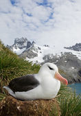 Fotografia Black browed albatross sitting in the nest