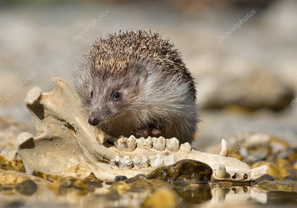 European hedgehog checking old animal jaw bone