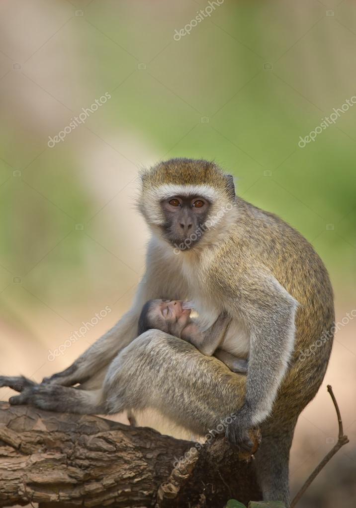 Velvet monkey sitting on the ground