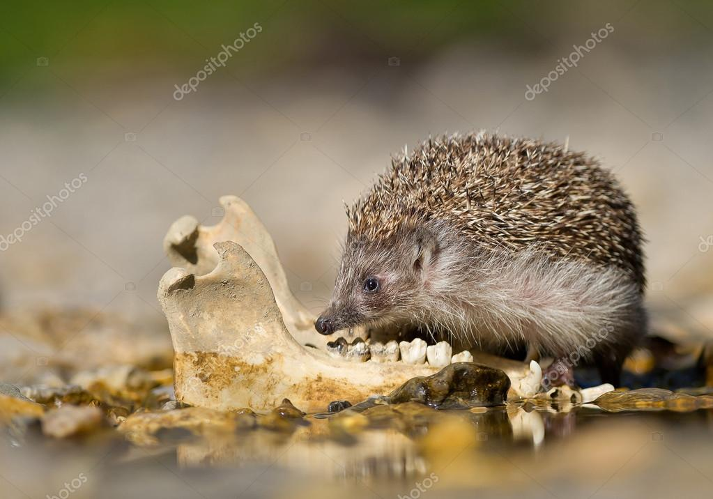 European hedgehog checking old animal jaw bone