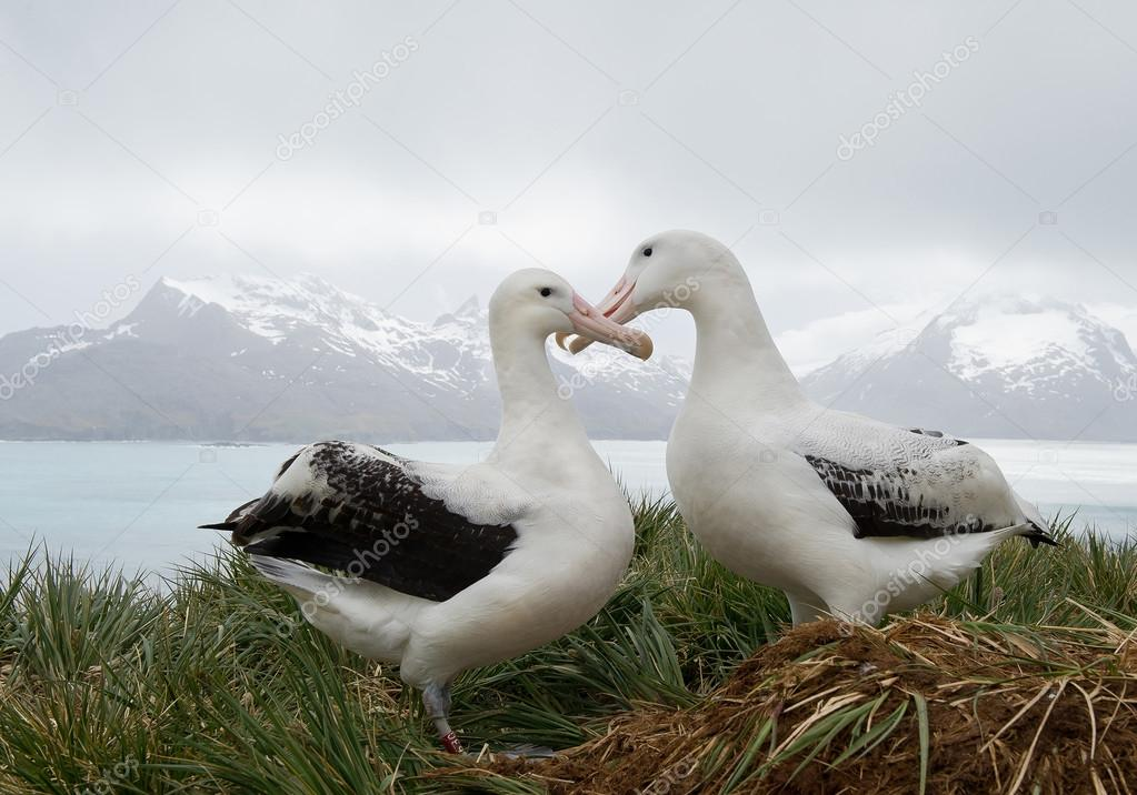 Pair of wandering albatrosses on the nest
