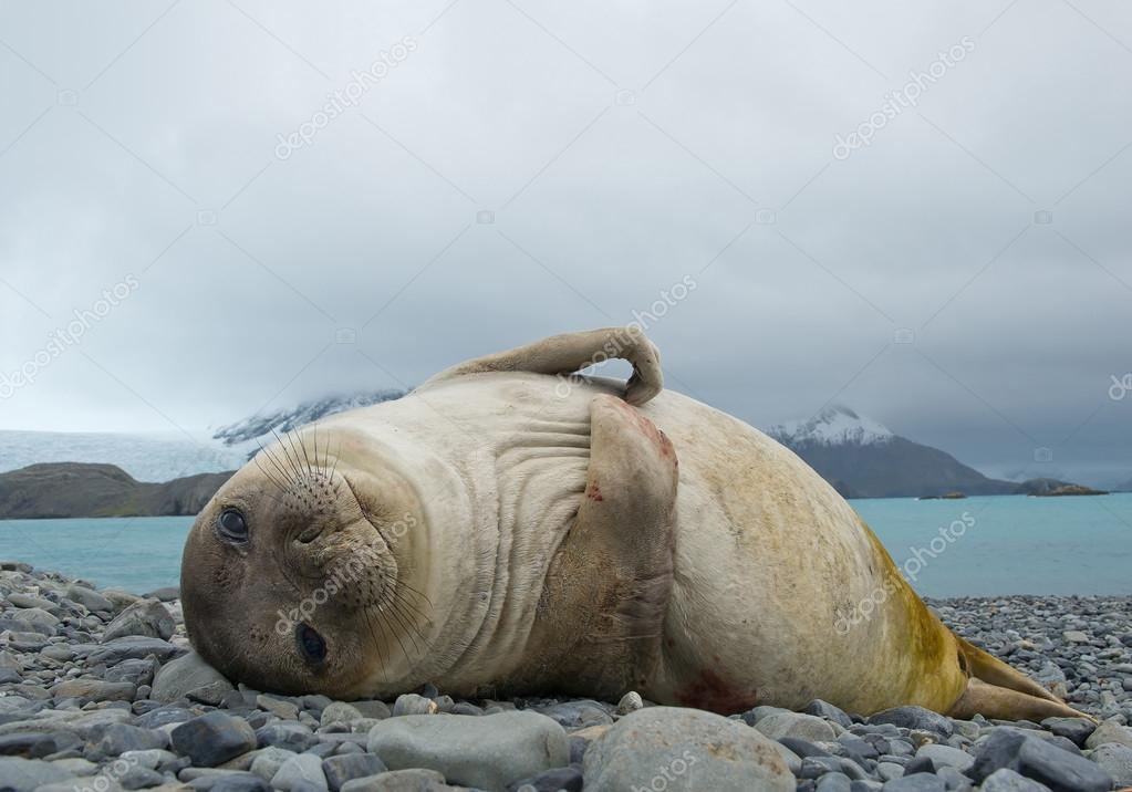 Young elephant seal lying on the beach