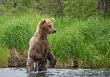 Grizzly bear standing in the river