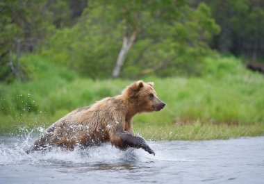 Grizzly bear fishing in the river