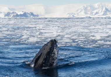 Humpback whale looking from blue sea