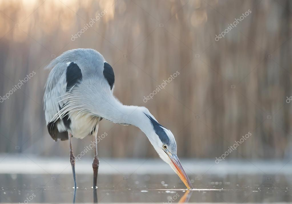 Grey heron fishing in the pond