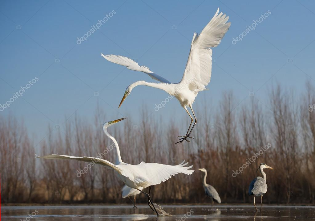 Air fight of two great white egrets