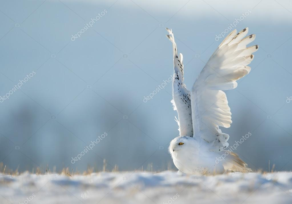Snowy owl taking off from
