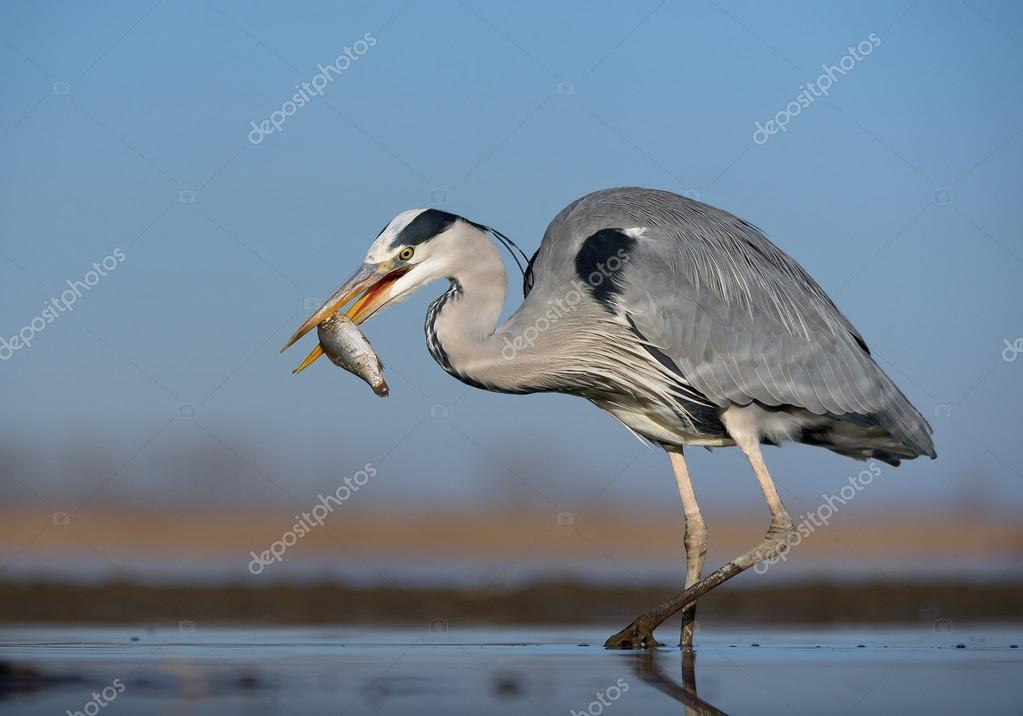 Grey heron standing in the water