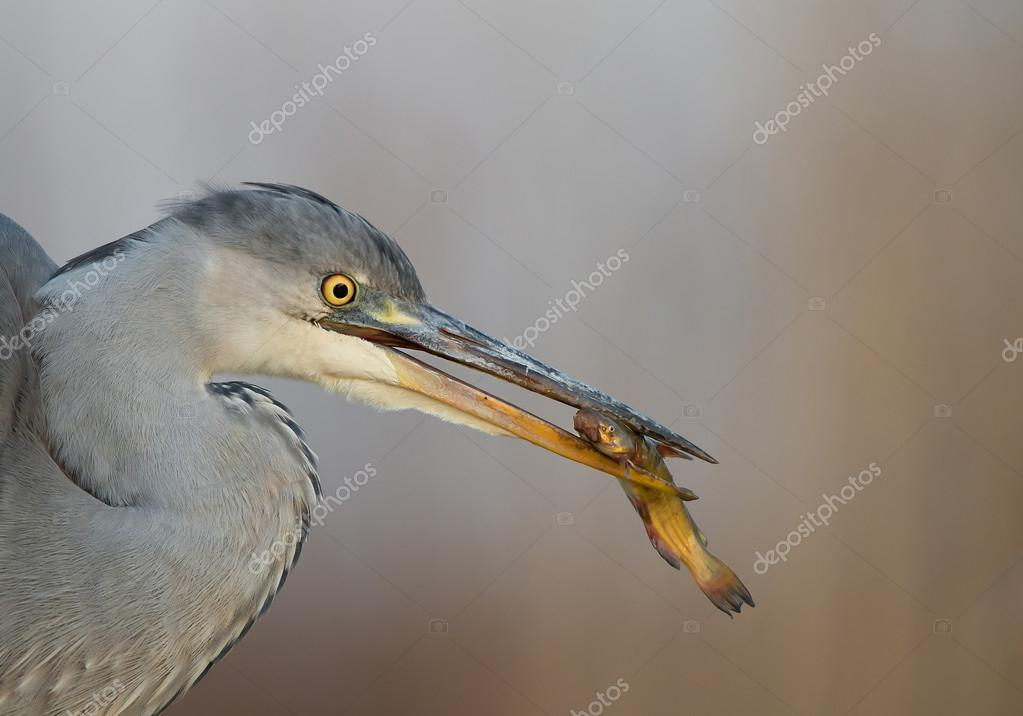Young grey heron fishing in the pond closeup