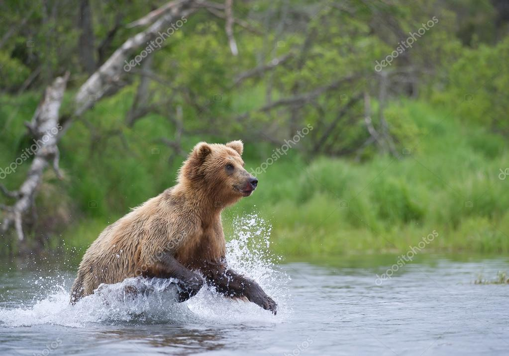izzly bear fishing in the river