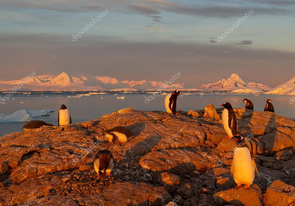 Small group of gentoo penguins in last sun beams