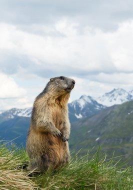 Alpine marmot standing in the grass