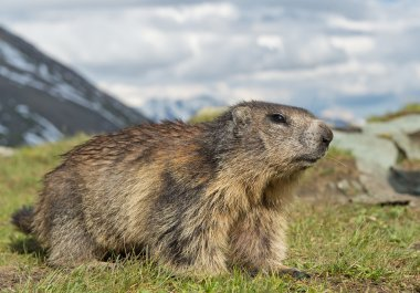 Alpine marmot closeup, with grass in the mouth, Austria, Europe stock vector
