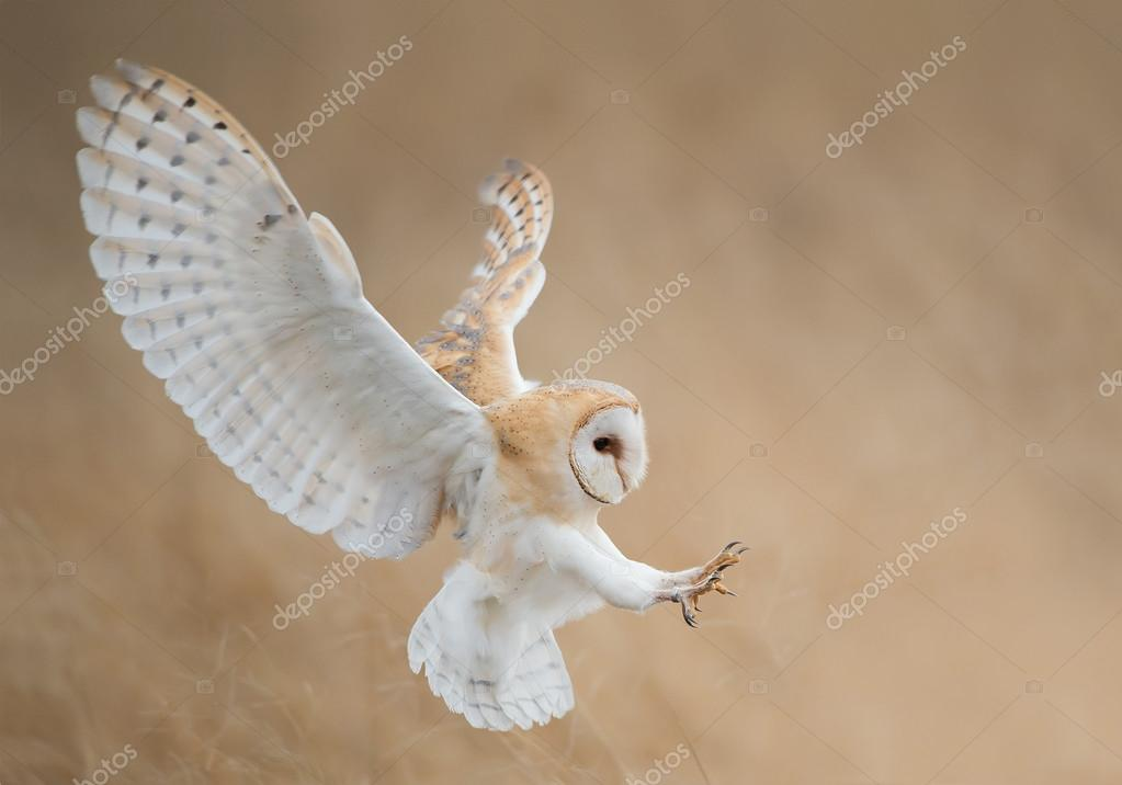 Barn owl in flight just before attack