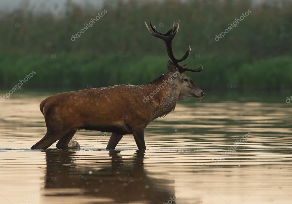 Male of red deer standing in the water