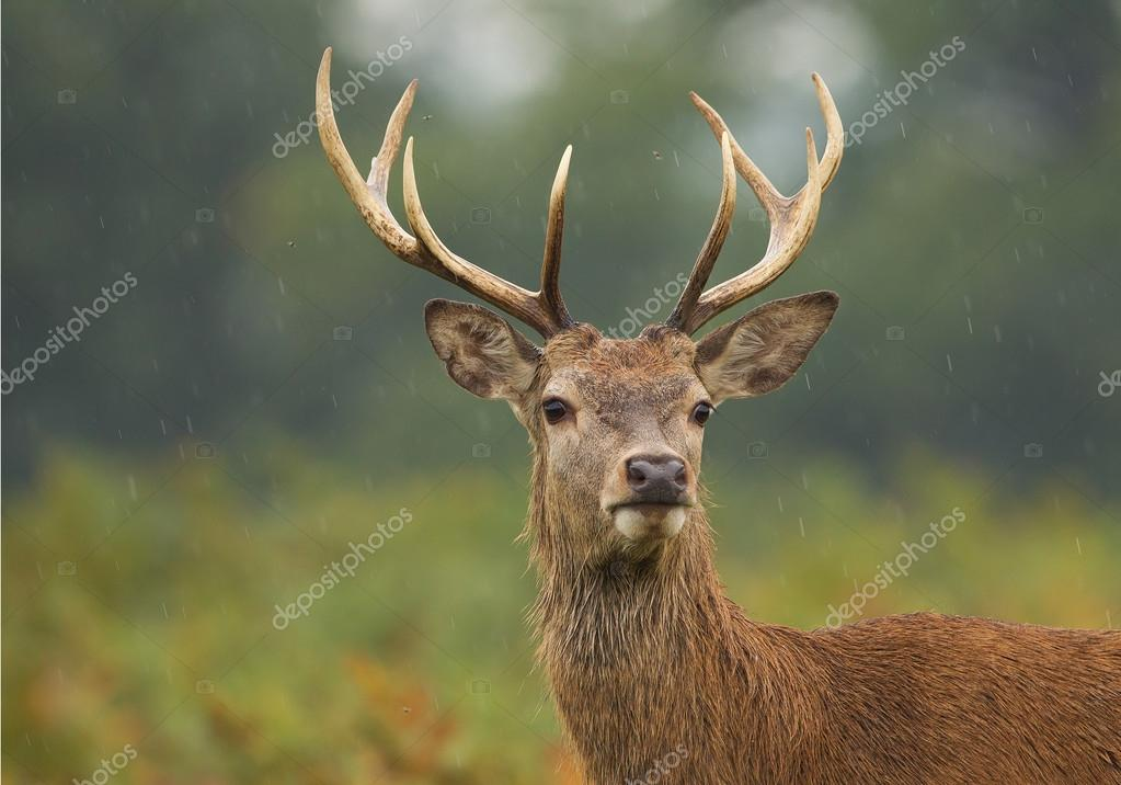 Young male of red deer standing in high fern