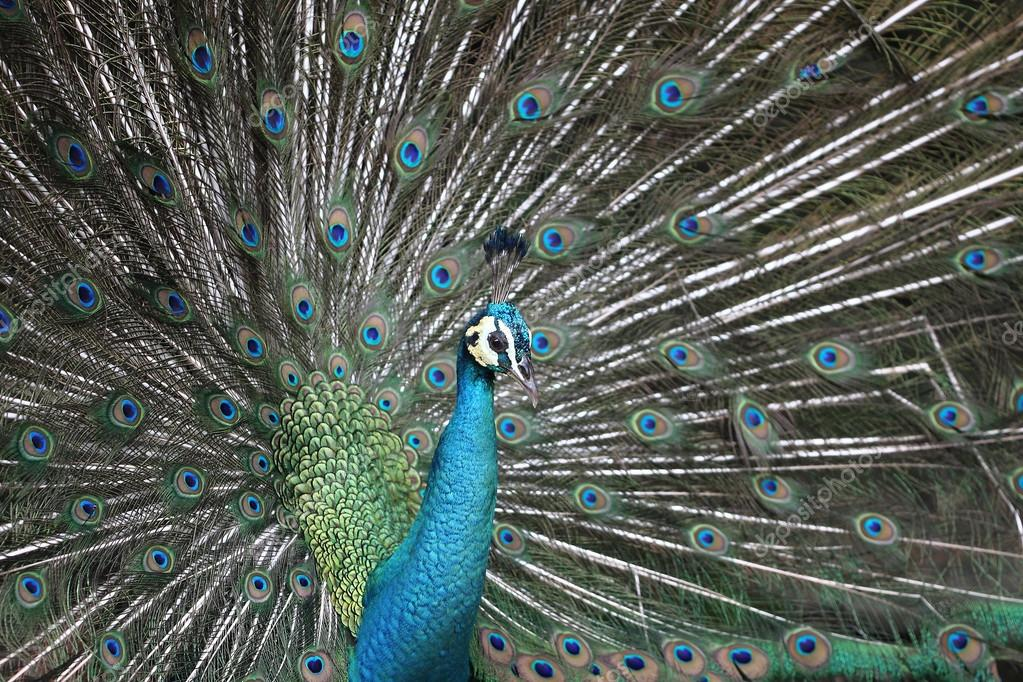 Peacock with the expanded tail
