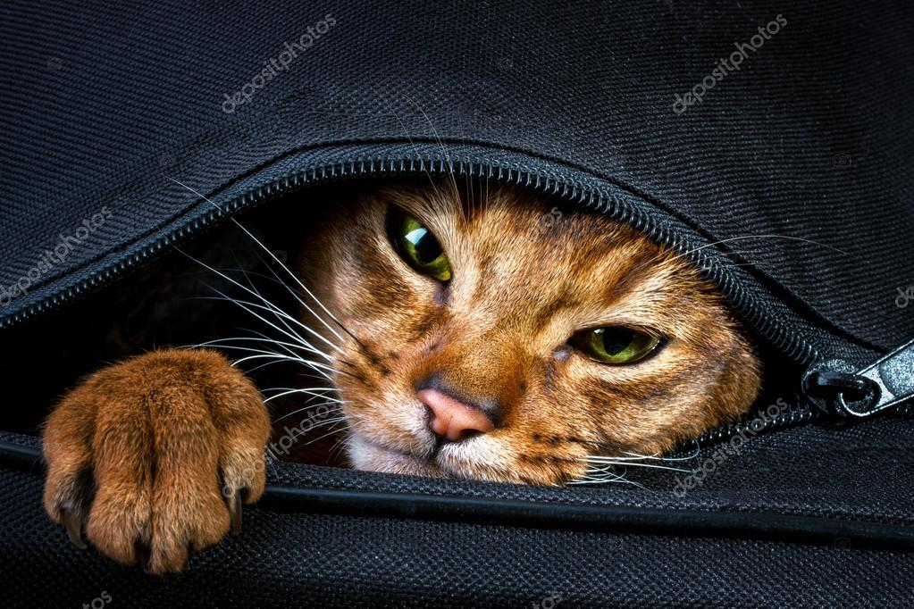 Abyssinian cat in the bag — Stock Photo © ilietus1000 gmail