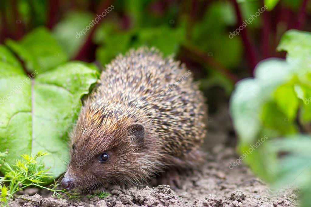 Hedgehog eating from a plate