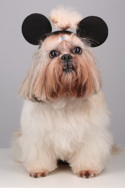 Shih Tzu dog in mickey mouse ears.