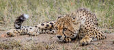 Gepard, kterým se stanoví