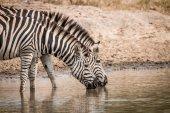 Pití zebry v Kruger