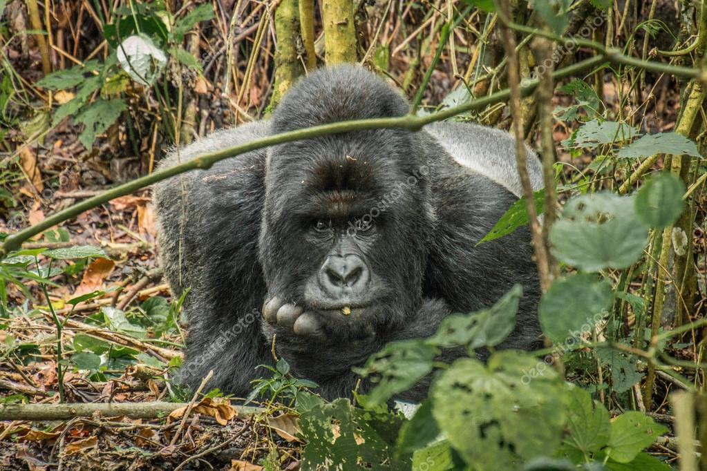 Starring Silverback Mountain gorilla