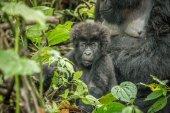 Photo Starring baby Mountain gorilla in the Virunga National Park.