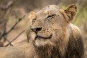 Lev s úsměvem v Kruger National Park