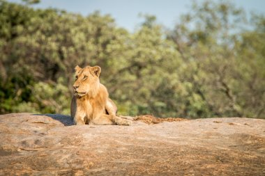 Lion laying on the rocks in the Kruger National Park.