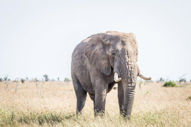 Elephant in the grass in the Kruger National Park.