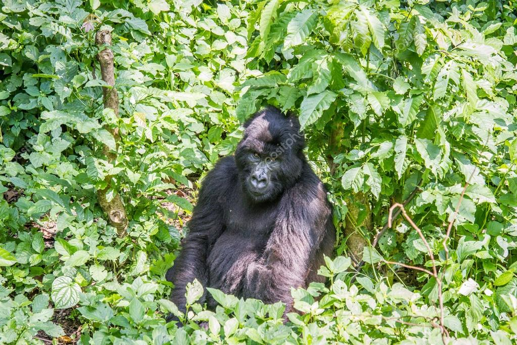 Silverback Mountain gorilla sitting in the Virunga National Park.