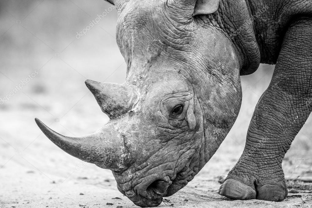 Close up of a Black rhino walking on the road in black and white.