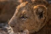 Oldal profilja a Lion cub a Kruger Nemzeti Park.