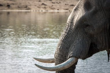 Side profile of an Elephant in the Kruger National Park.