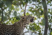 Photo A Leopard looking up in a tree in the Kruger.