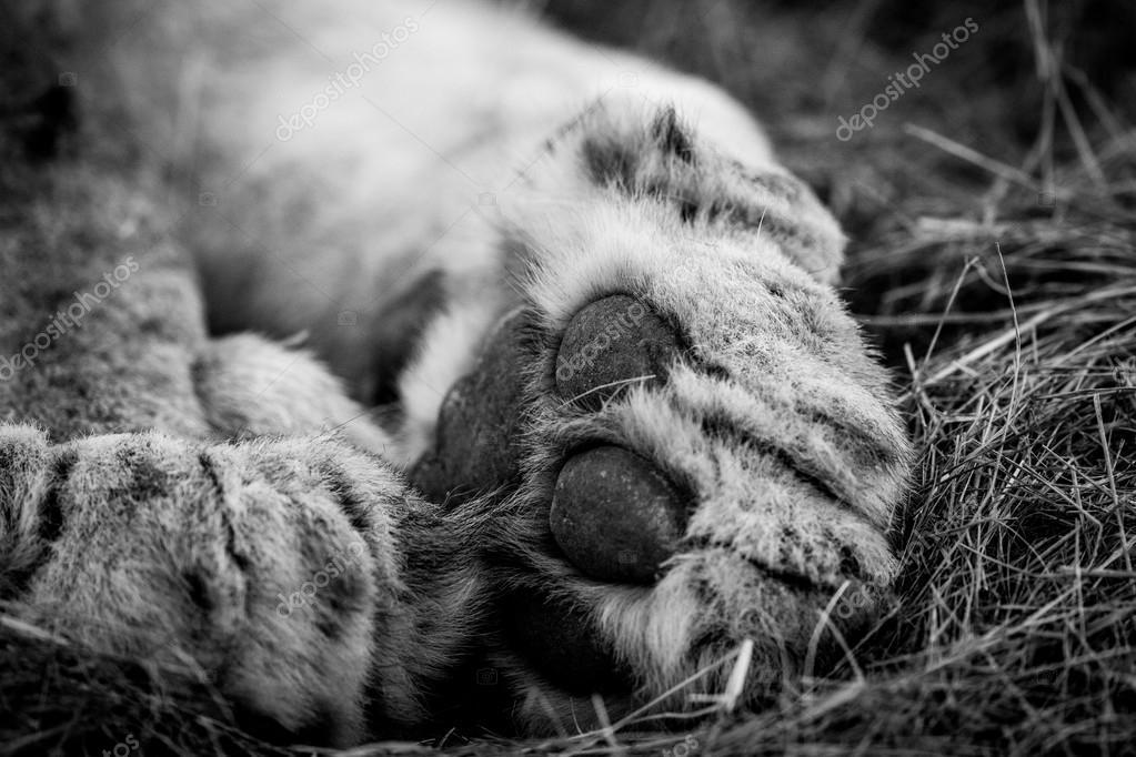 Gros plan d une patte de lion en noir et blanc dans le - Gros vers blancs dans le compost ...