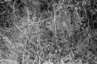Leopard hiding in the bush in black and white.