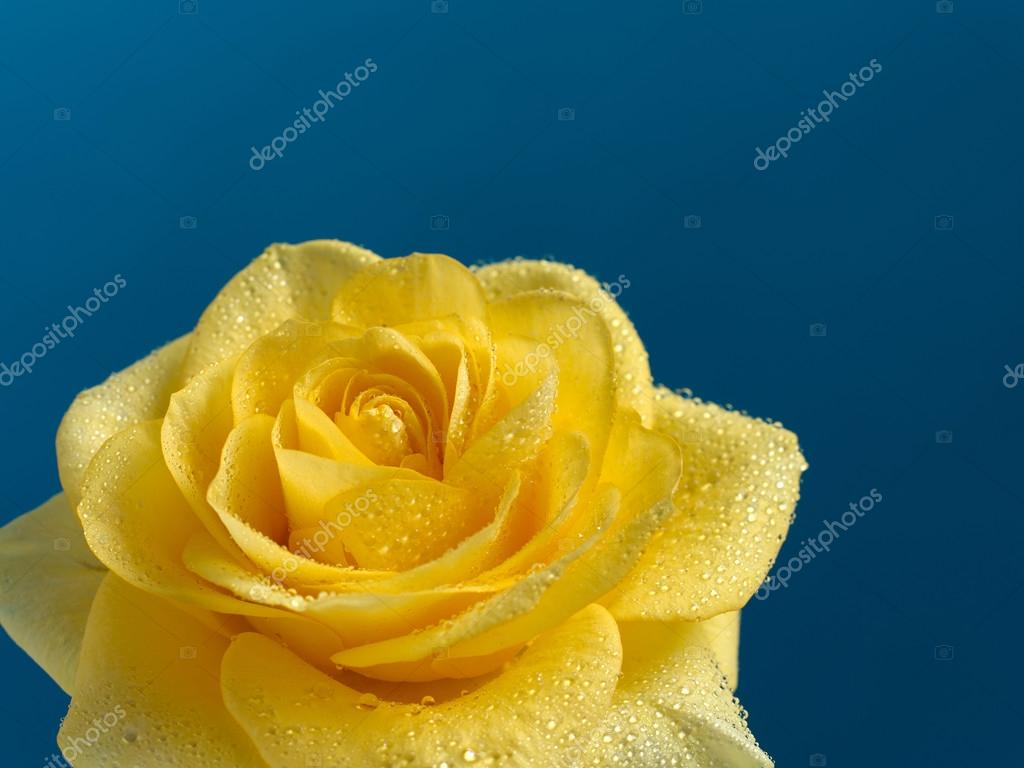 Beautiful Yellow Rose With Water Drops Stock Photo Accent P