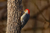 Fotografie Red-Bellied Woodpecker on a Tree