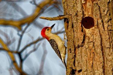 Red-Bellied Woodpecker By It's Hole