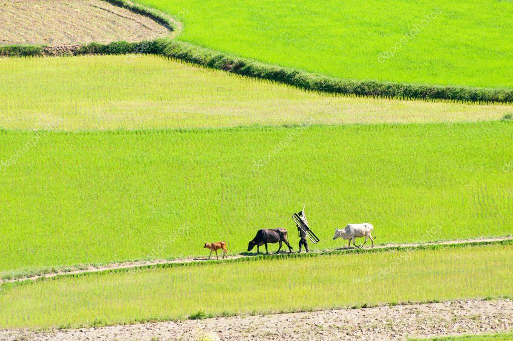 Asian farmer tend cow on rice plantation, ox, paddy field in green, beautiful Vietnamese countryside, Mekong Delta, Vietnam