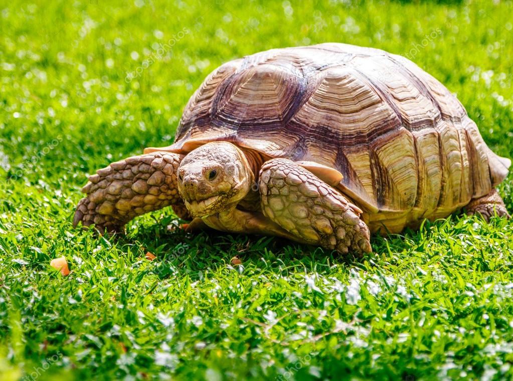 Schildkröte Kaufen