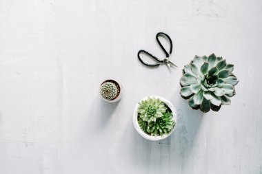 different succulents and scissors